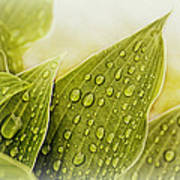Raindrops On Hostas Art Print