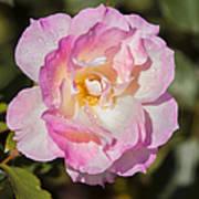 Raindrops On Rose Petals Art Print