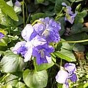 Raindrops On Violets Art Print