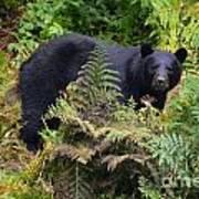 Rainforest Black Bear Art Print