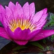 Rainy Day Water Lily Reflections II Art Print