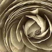 Ranunculus Art Print by Cindy Rubin