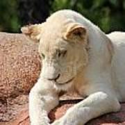 Rare Female White Lion Art Print