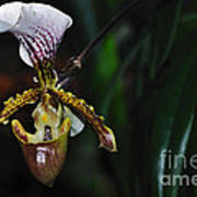 Rare Orchid - Paphiopedilum Gratrixianum Art Print