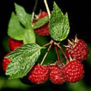 Raspberries Art Print