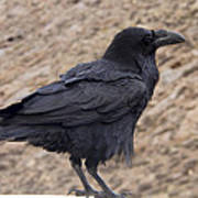 Raven Perched On A Ledge Art Print