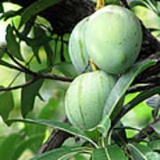 Raw Mangoes Art Print