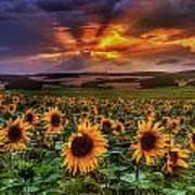 Rays Of Sunflowers Art Print