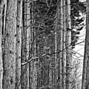 Reaching Pines Art Print