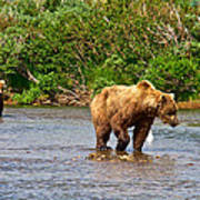 Ready To Pounce On A Salmon  In The Moraine River In Katmai National Preserve-ak Art Print