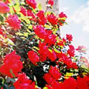 Recesky - Bright Roses Art Print