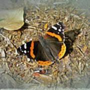 Red Admiral Butterfly - Vanessa Atalanta Art Print