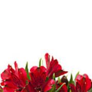Red Alstroemeria Print by Anne Gilbert