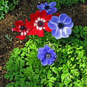 Red And Blue Anemones Art Print