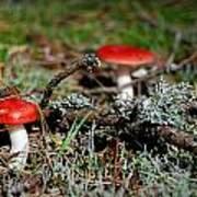 Red And White Mushrooms Art Print