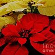 Red And White Poinsettias Art Print