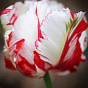 Red And White Tulip Art Print