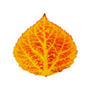 Red And Yellow Aspen Leaf 6 Art Print