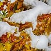 Red Autumn Maple Leaves With Fresh Fallen Snow Art Print