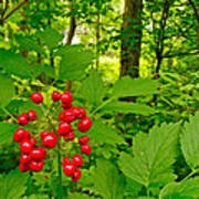 Red Baneberry Along Rivier Du Nord Trail In The Laurentians-qc Art Print