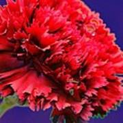 Red Beauty Carnation Art Print