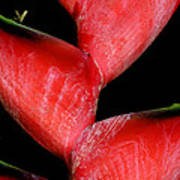 Red Beauty - Heliconia Art Print