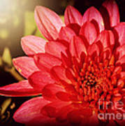 Red Beauty Welcomes The Sun - Flowers Of Summer Art Print