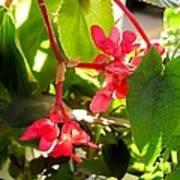 Red Begonia Peaking Through The Leaves Art Print
