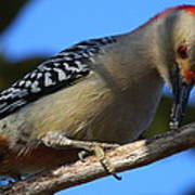 Red-bellied Woodpecker Catching Grub Art Print