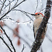 Red Bellied Woodpecker In Winter Art Print