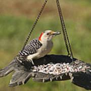 Red Bellied Woodpecker - Melanerpes Carolinus Art Print