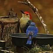 Red- Bellied Woodpecker Art Print