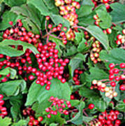Red Berries And Green Leaves Art Print