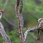 Red-billed Hornbills Art Print