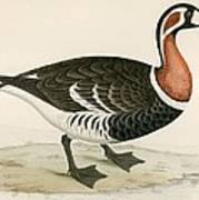 Red Breasted Goose Art Print