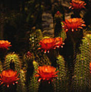 Red Cactus Flowers  Art Print