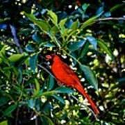 Red Cardinal 1 Art Print