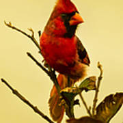 Red Cardinal No. 2 - Kauai - Hawaii Art Print