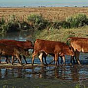 Red Cattle Art Print