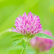 Red Clover Art Print