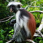 Red Colobus Monkey Art Print