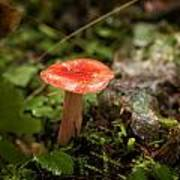 Red Coral Mushroom Art Print