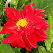 Red Dahlia Flower Art Print