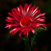 Red Daisy Art Print
