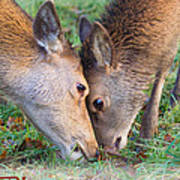 Red Deer  Cervus Elaphus  Head To Head Art Print