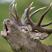 Red Deer Cervus Elaphus Stag Bugling Art Print