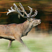 Red Deer Cervus Elaphus Stag Running Art Print