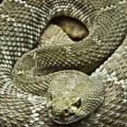 Red Diamond Rattlesnake 3 Art Print