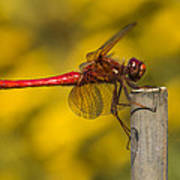 Red Dragonfly Waiting Art Print