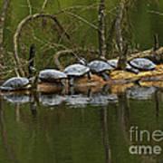 Red-eared Slider Turtles Art Print